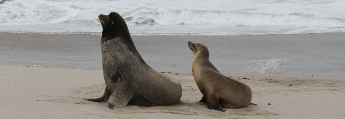 Active Field Work - California Sea Lions