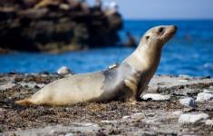 A juvenile California sea lion with a satellite tag. Photo: Patrick Robinson
