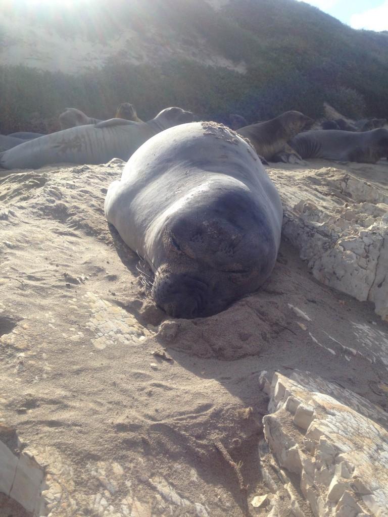 Sleeping juvenile at Ano Nuevo State Park
